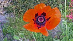 """Mein """"Riesenmohn"""" im Garten gestern morgen mit weit geöffnetem Blütenkelch..."""