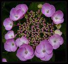 Mein schöner Garten -- Hortensien --