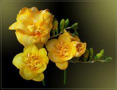 mein Sonntagsblümchen - hellgelbe Freesie