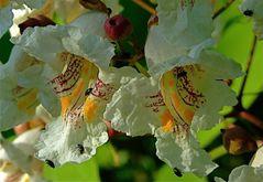 Mein Trompetenbaum blüht wieder***und den Käfern gefällt es auch***