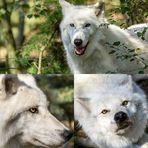 Mein weißer Wolf