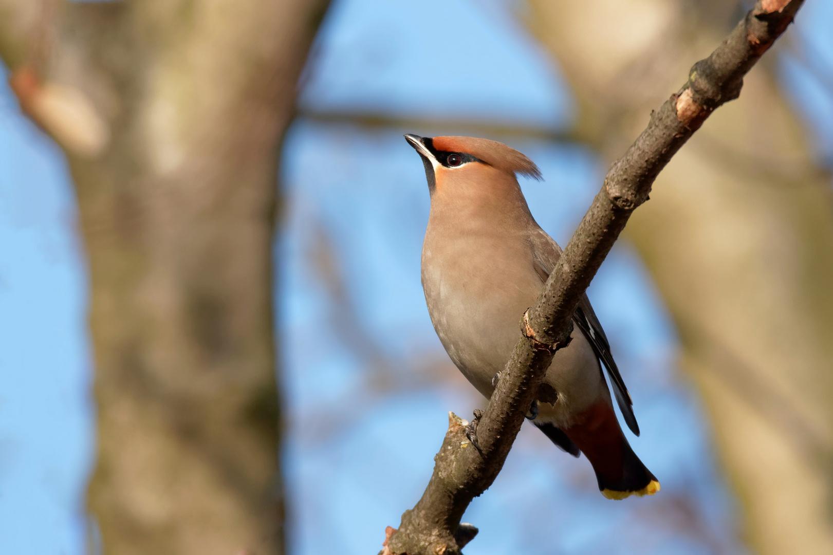 """Mein """" Winterparadiesvogel"""" - Seidenschwanz - (Bombycilla garrulus)"""