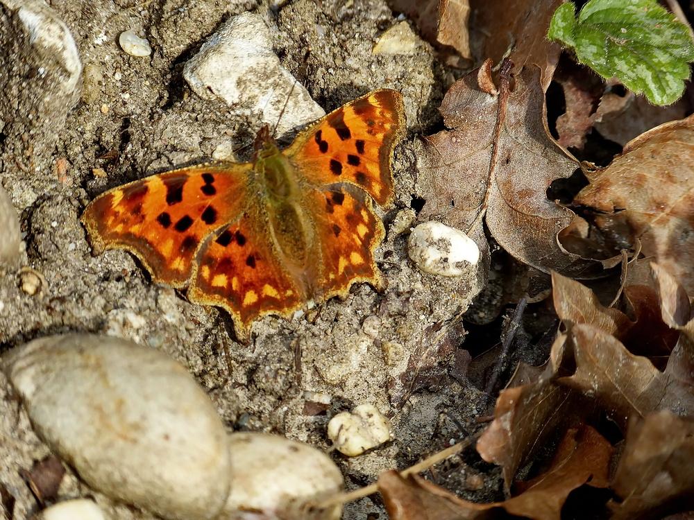 Mein zweiter Schmetterling 2014