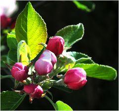 Mein_Apfelbaum