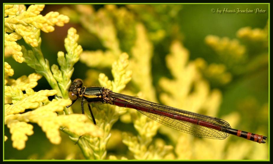 Meine 1. Libelle 2008