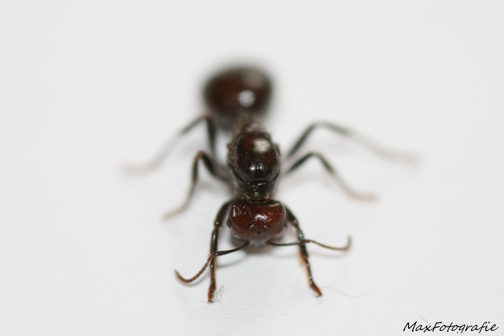 Meine Ameisenkönigin