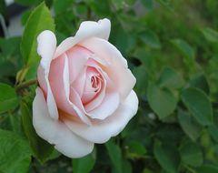 Meine andere Rose