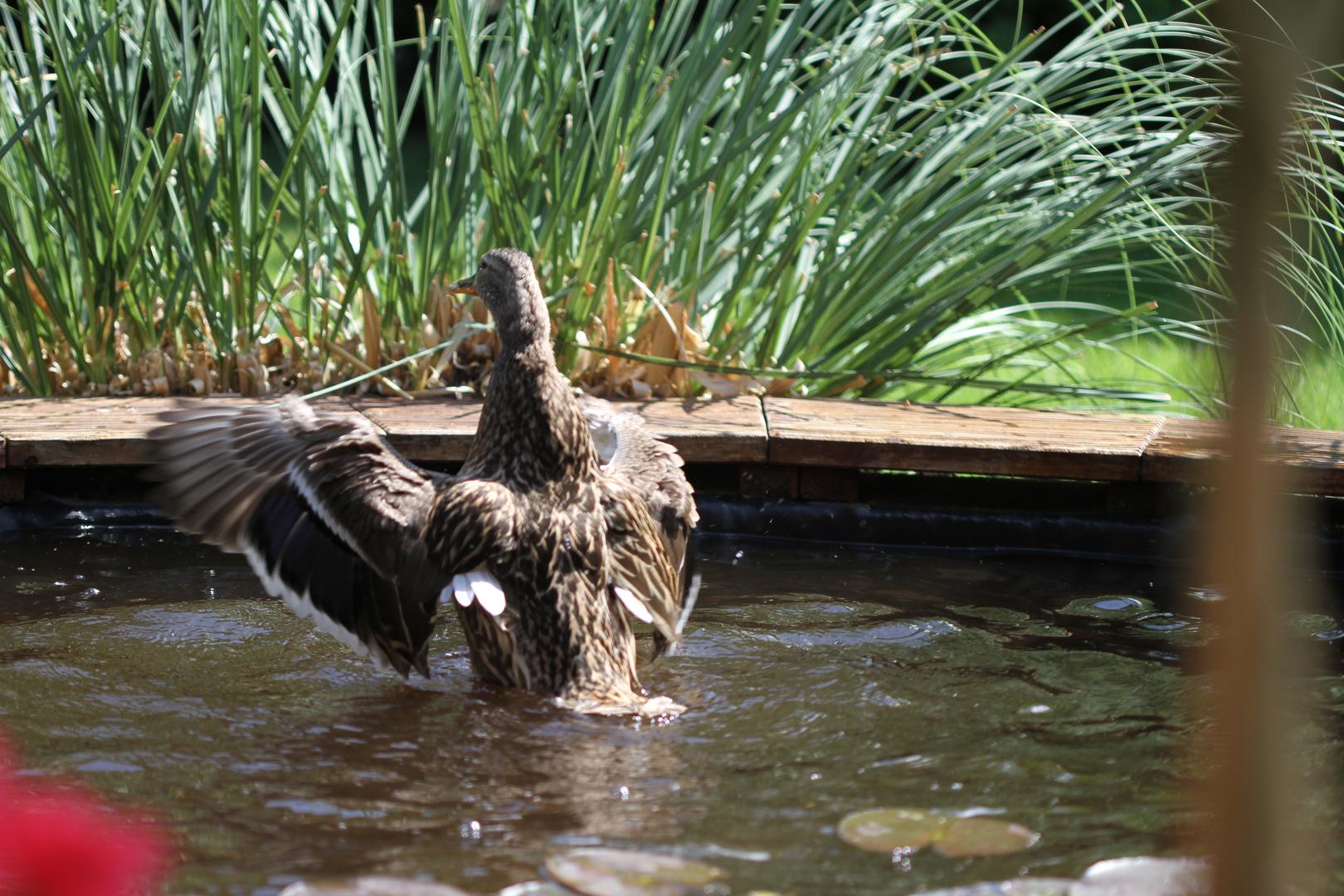 Meine Anna badet sich im Teich