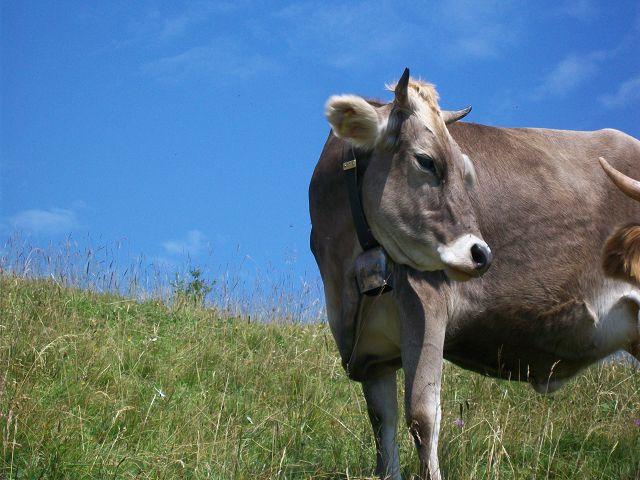 """Meine Antwort auf die """"Milka-Kuh"""""""