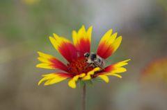 Meine Bienen sind wie immer fleißig auch beim foto schooting