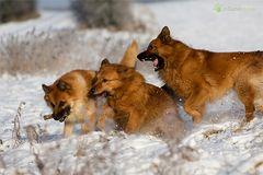 Meine drei Füchse...