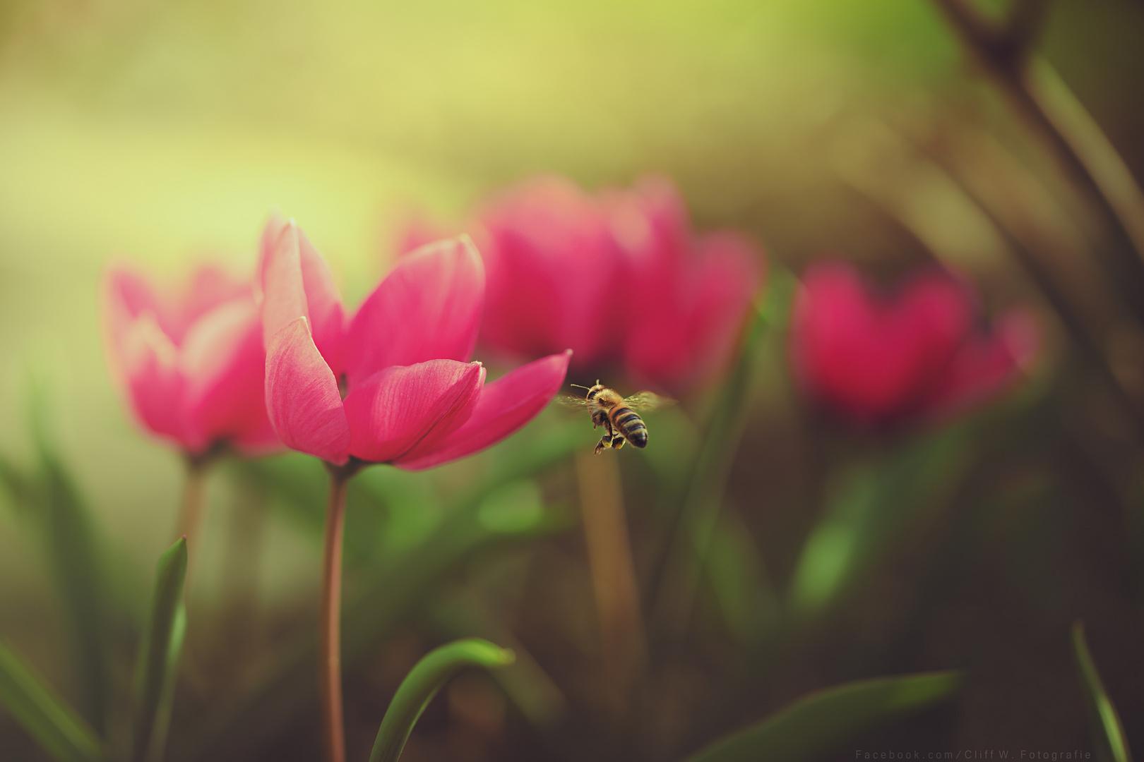 Meine erste Biene und Tulpe dieses Jahr :)