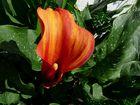 Meine erste Calla-Blüte
