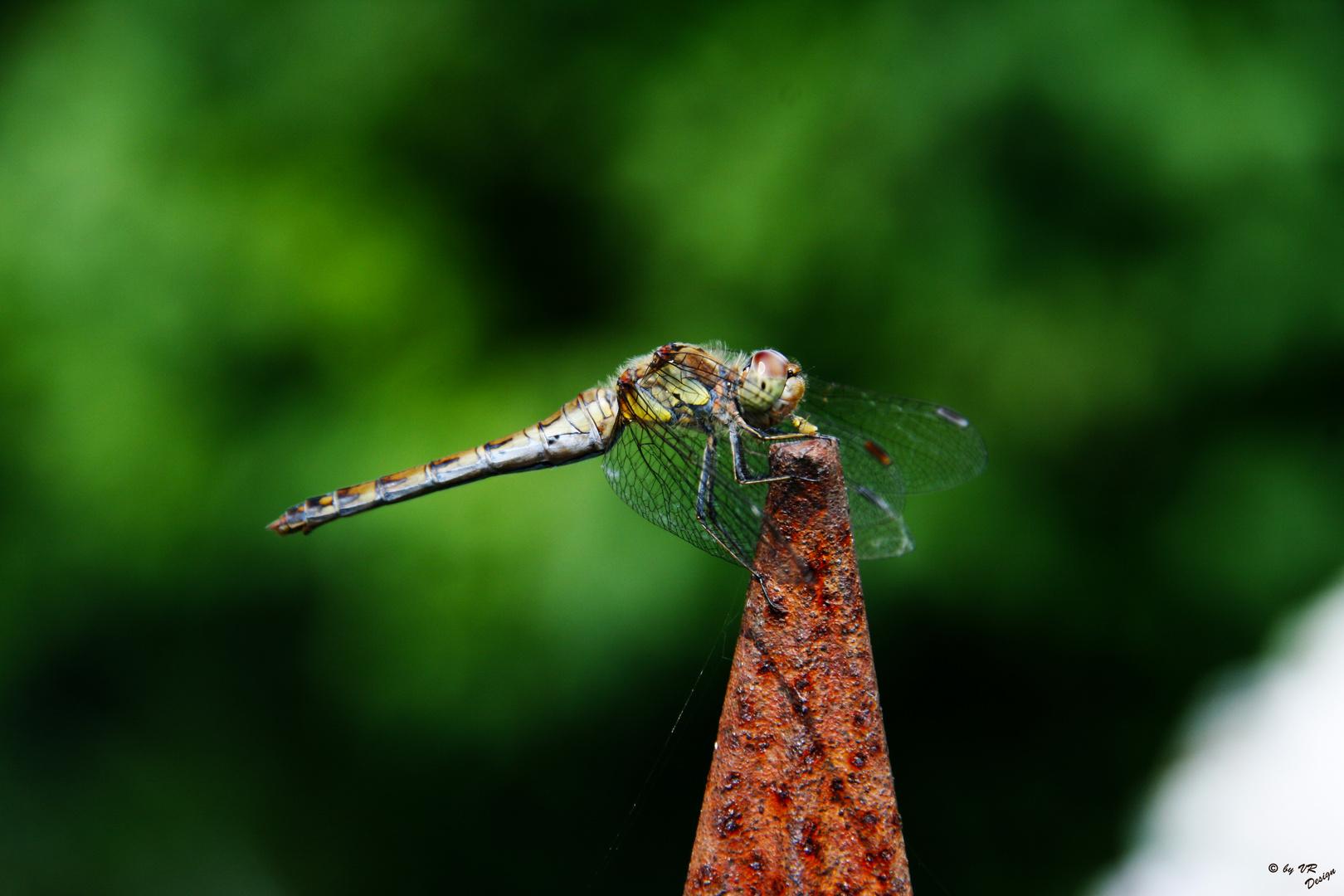 Meine erste Libelle :))