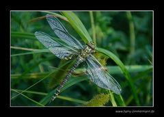 Meine erste Libelle