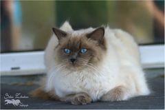 Meine erste Ragdoll Katze