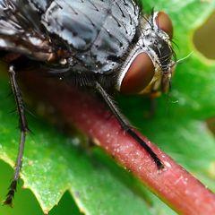meine Fliege - ungewöhnlich nah dran