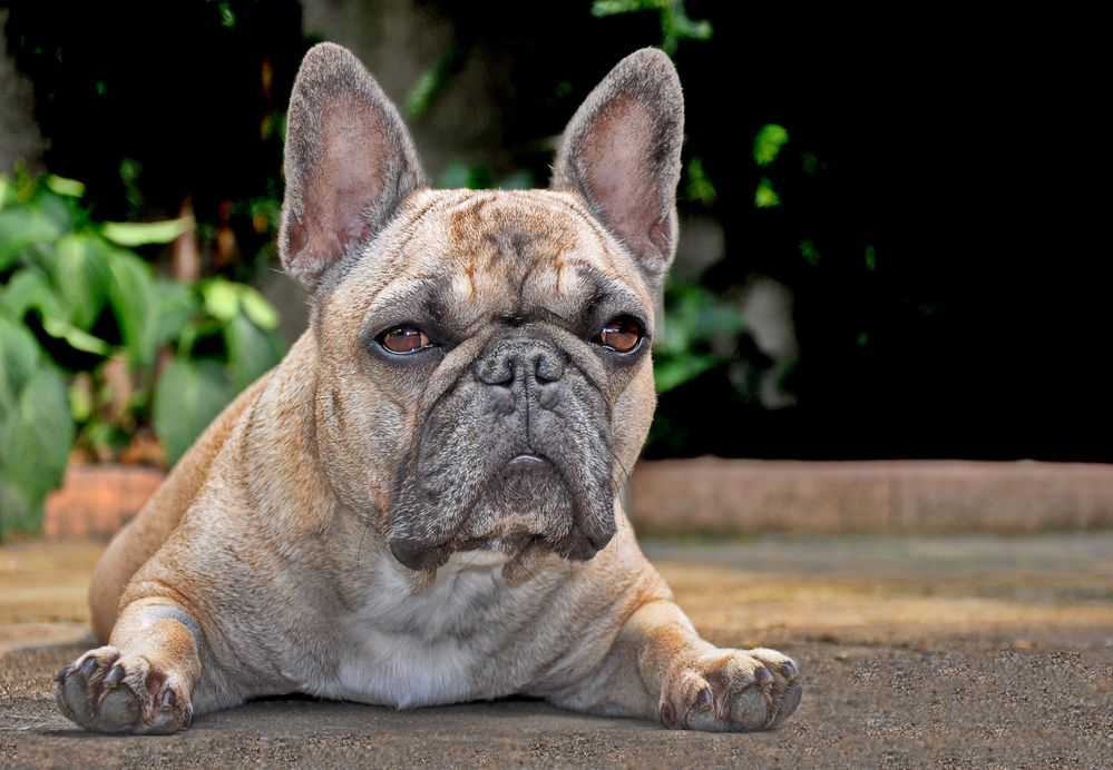 Meine Französische Bulldogge Amy