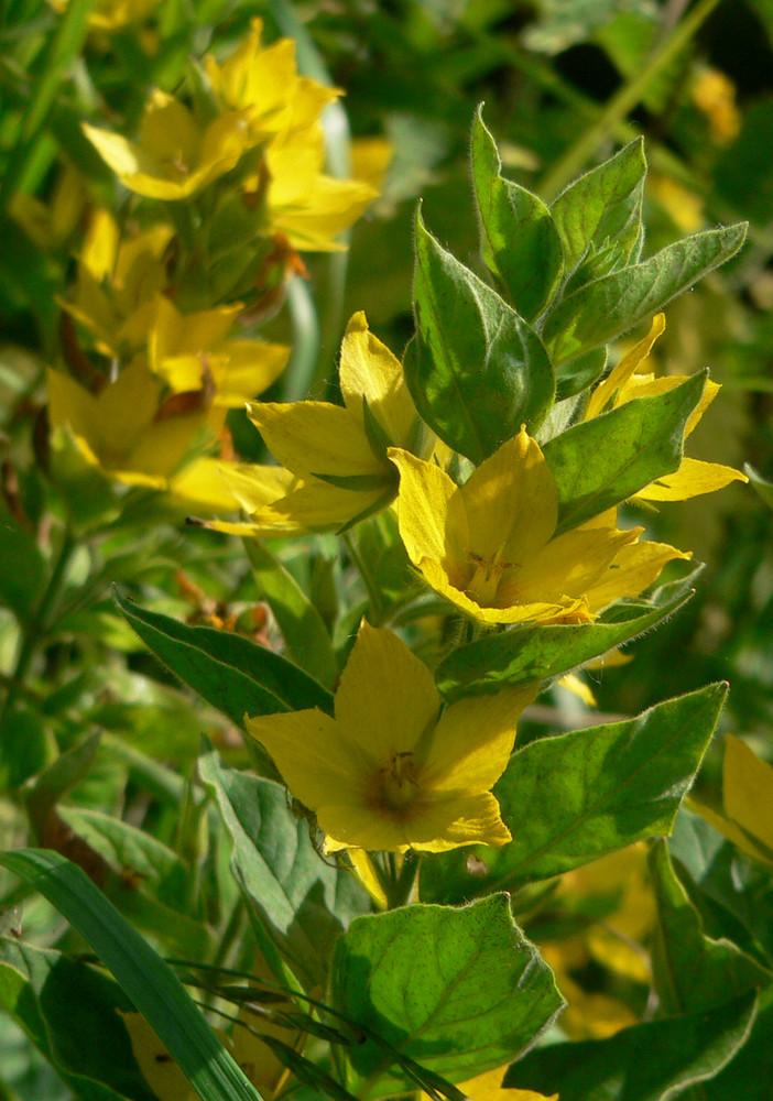 meine gelbe gartenblume foto bild pflanzen pilze flechten bl ten kleinpflanzen natur. Black Bedroom Furniture Sets. Home Design Ideas