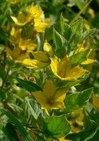 Meine gelbe Gartenblume