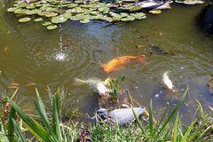 Meine immer hungrige Fische -