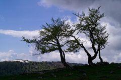 Meine Jurabäume