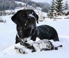 Meine Labrador Retriever Hündin