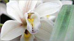 ... meine letzte Orchidee ...