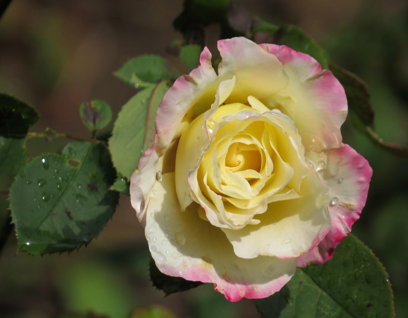 Meine letzte Rose