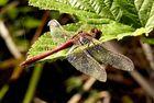 Meine Libelle