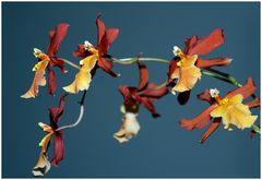 meine Lieblingsorchidee
