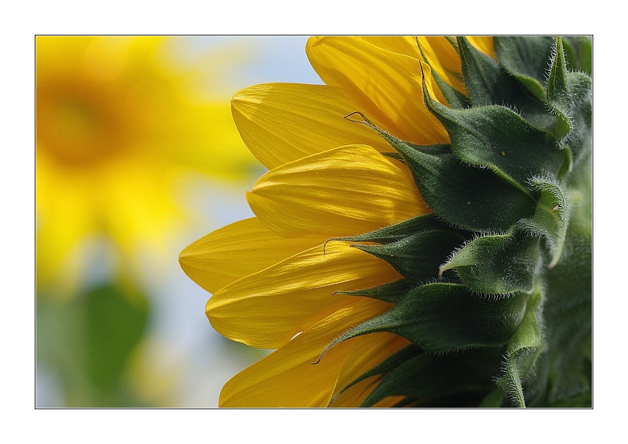 Meine Lieblingssonnenblume