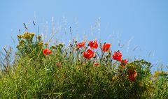 Meine Mittwochsblümchen blühen auf den Dünen....