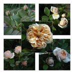 """Meine neue Rose """"Alexandrine"""""""