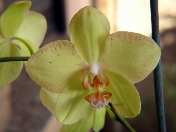 Meine Orchidee blüht endlich wieder ... 1