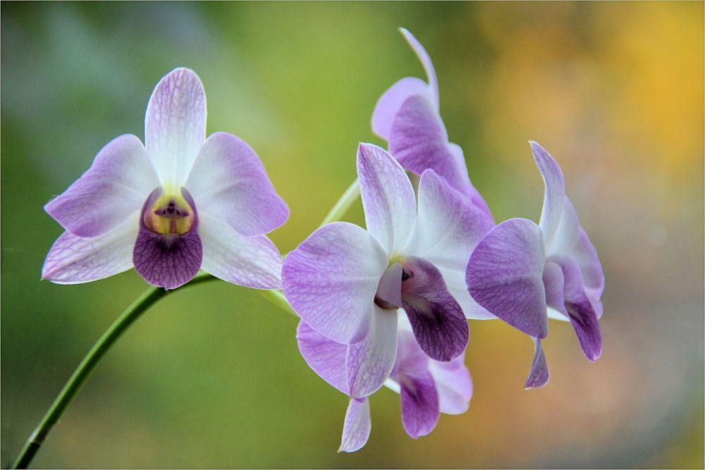 meine Orchidee