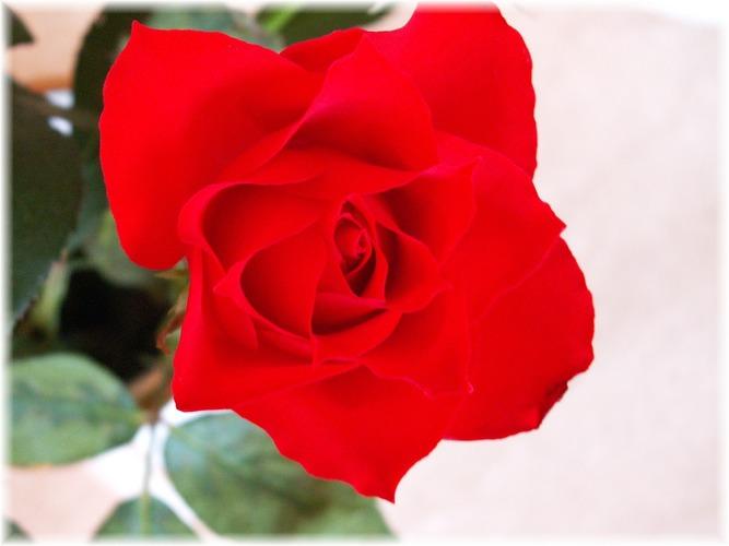 meine Rose.... - 1. Versuch...
