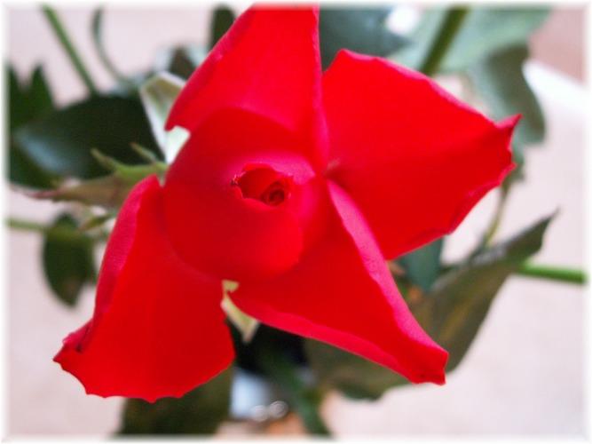 meine Rose...... - 2. Versuch.....