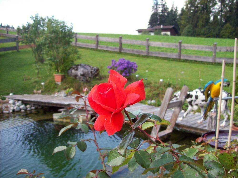 Meine Rose in Herbst