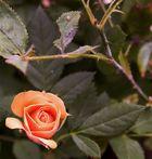 Meine Rosen sterben ach so früh