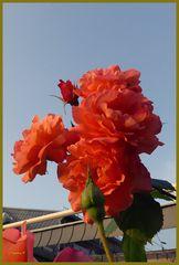 Meine Rosen wollten hoch hinaus, überragen inzwischen meinen Dachansatz