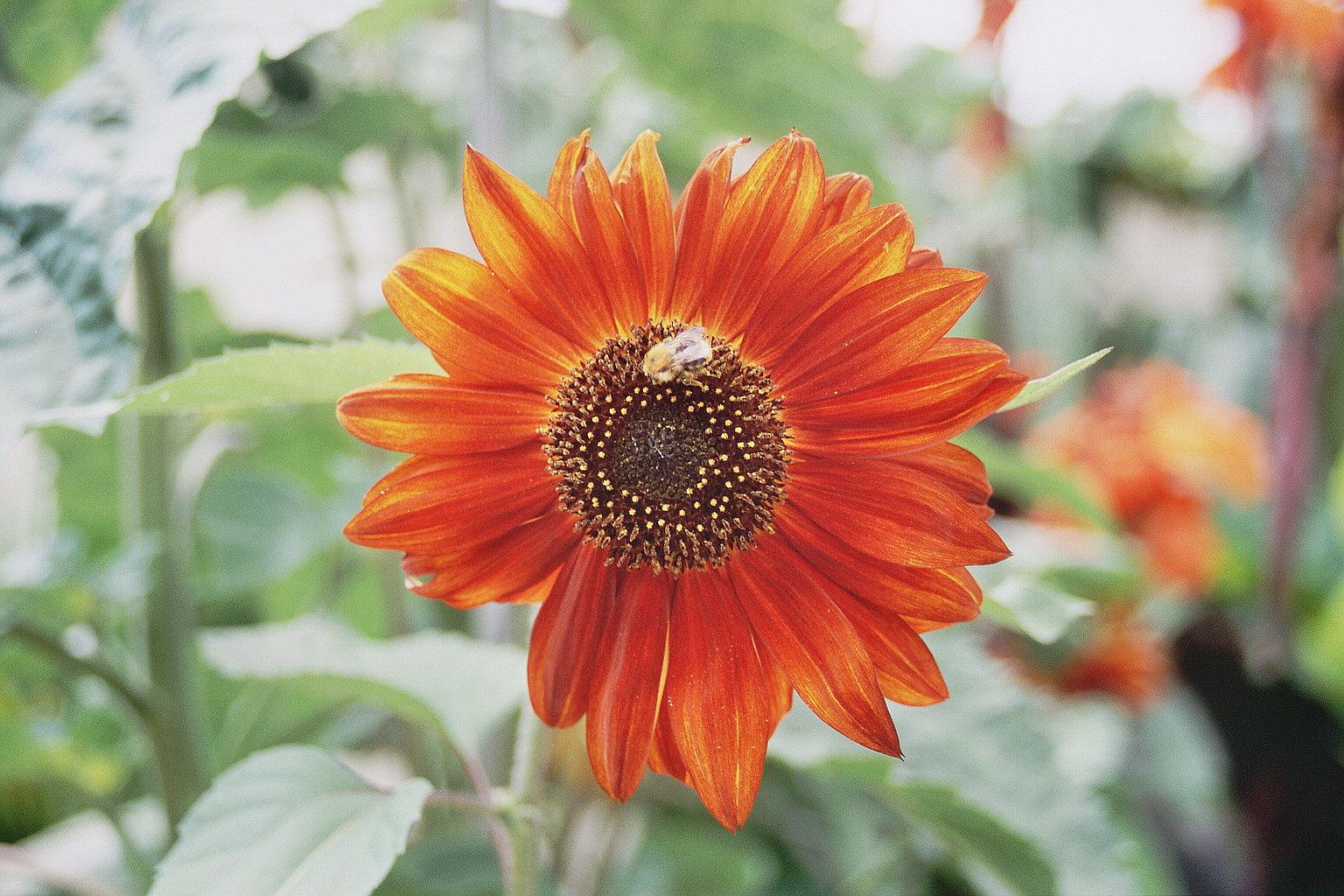 Meine Rote Sonnenblume mit Hummel