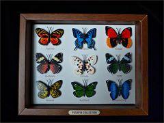 Meine Schmetterlingssammlung
