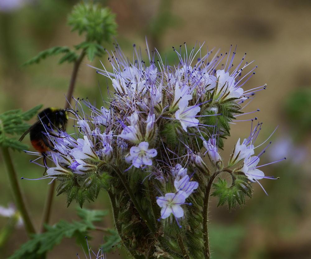 Meine schönste Feldblume in diesem Jahr