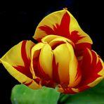 Meine schönste Tulpe im Garten