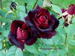 Meine schwarze Rose