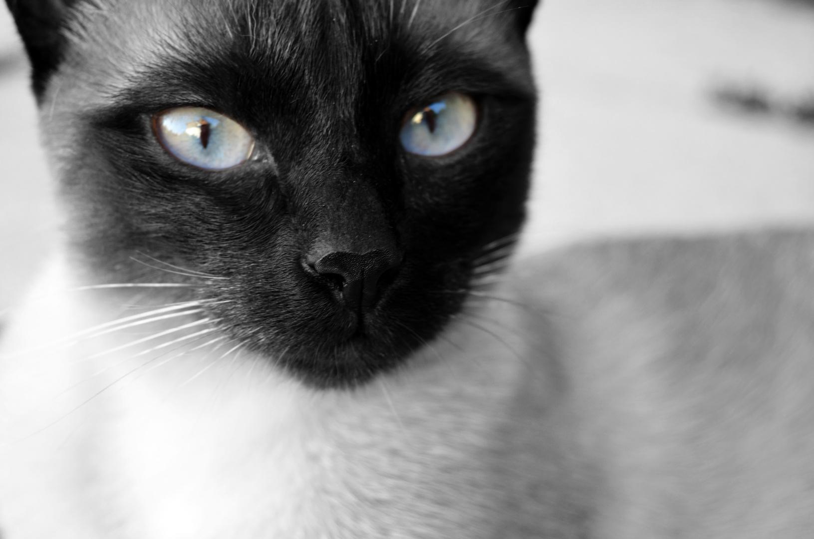 Meine Siam Katze Suri