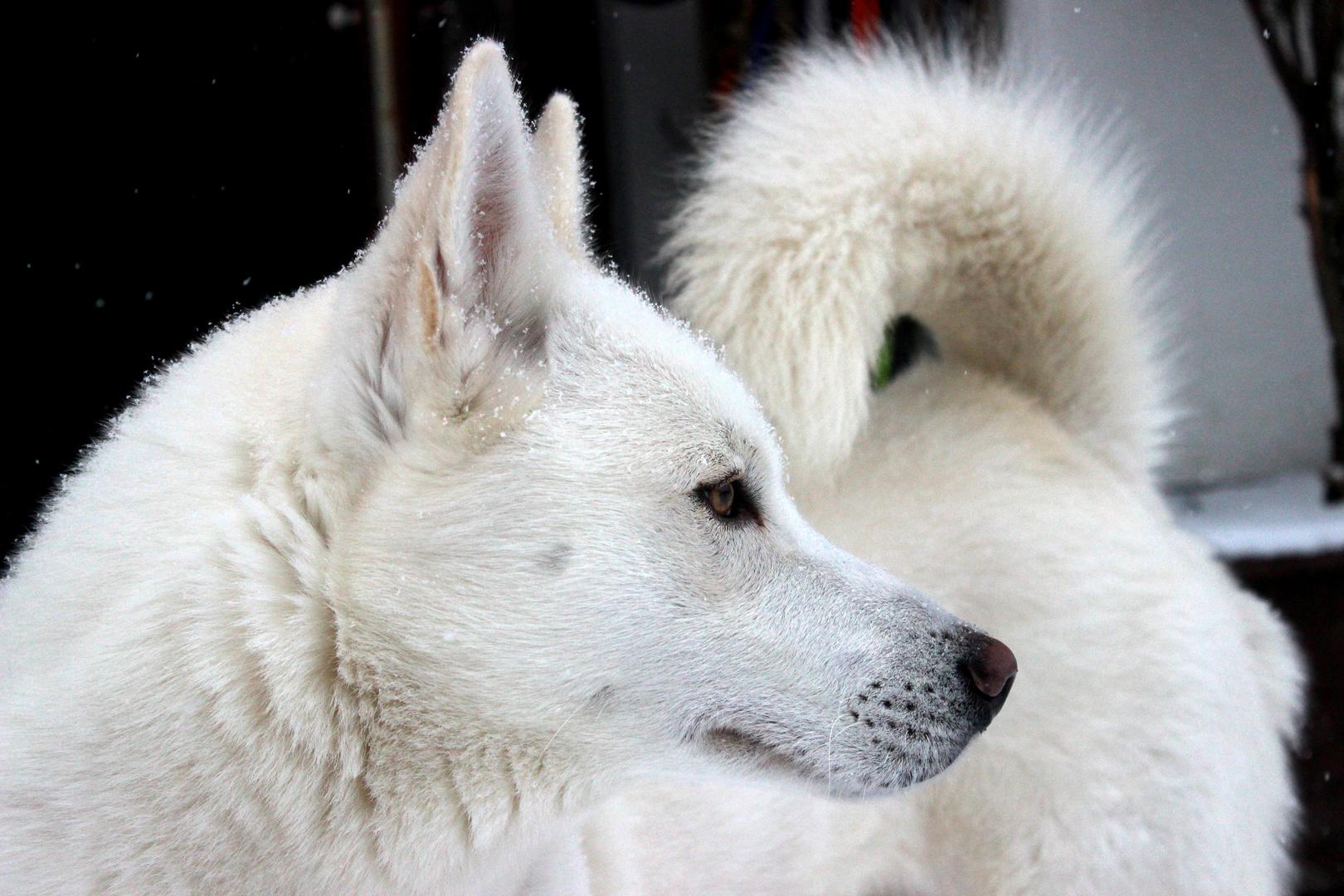 Meine siberian Husky`s