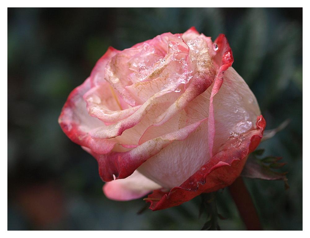 Meine Silvesterrose...