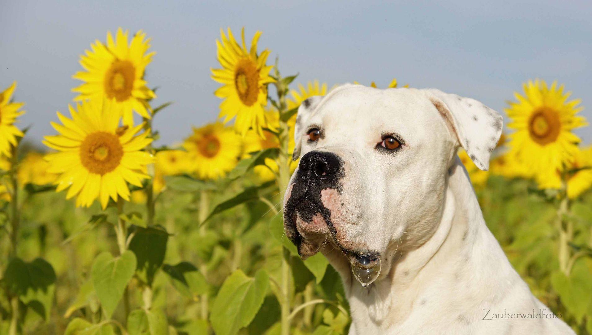 meine Sonnenblume!